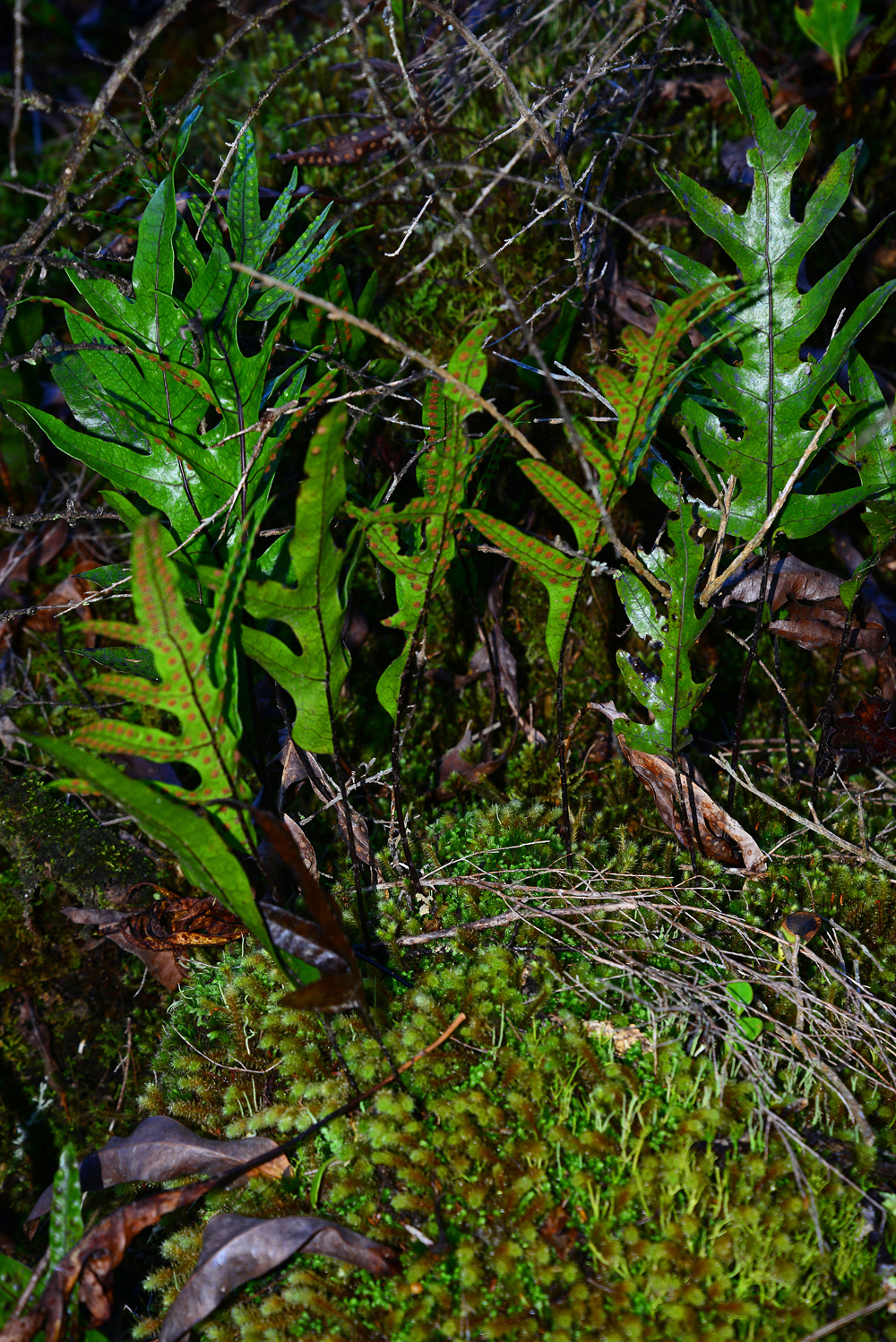 No. 4  Alpine Hounds Tongue Fern and Moss