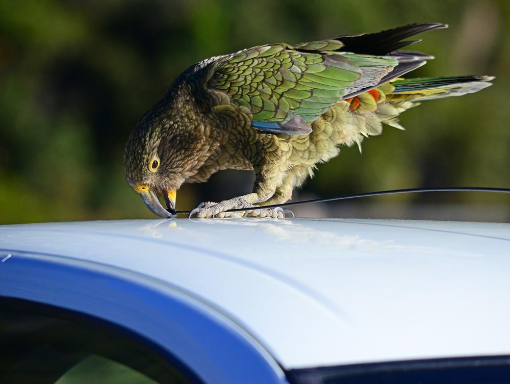 No.16   Kea take a bite of the Aerial.