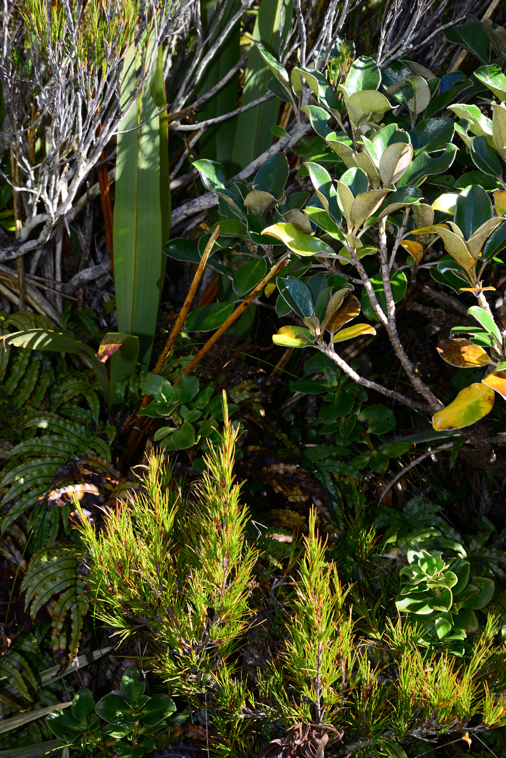 No.36 Coprosma and flax and fern .