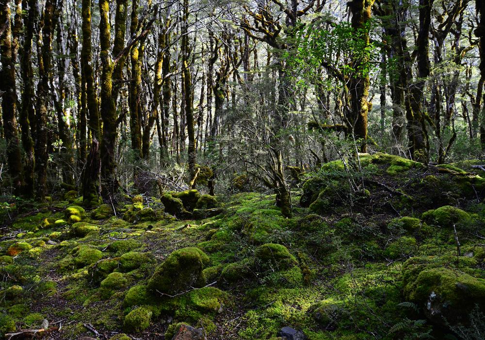 No.61  Spectacular Beech Forest