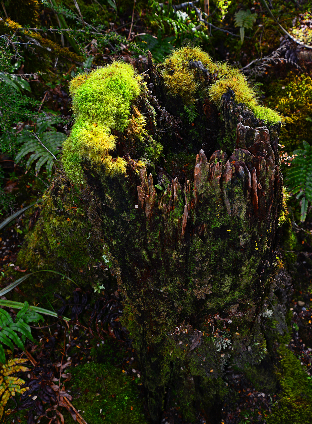 No.56  Beech moss covered stump in afternoon light.