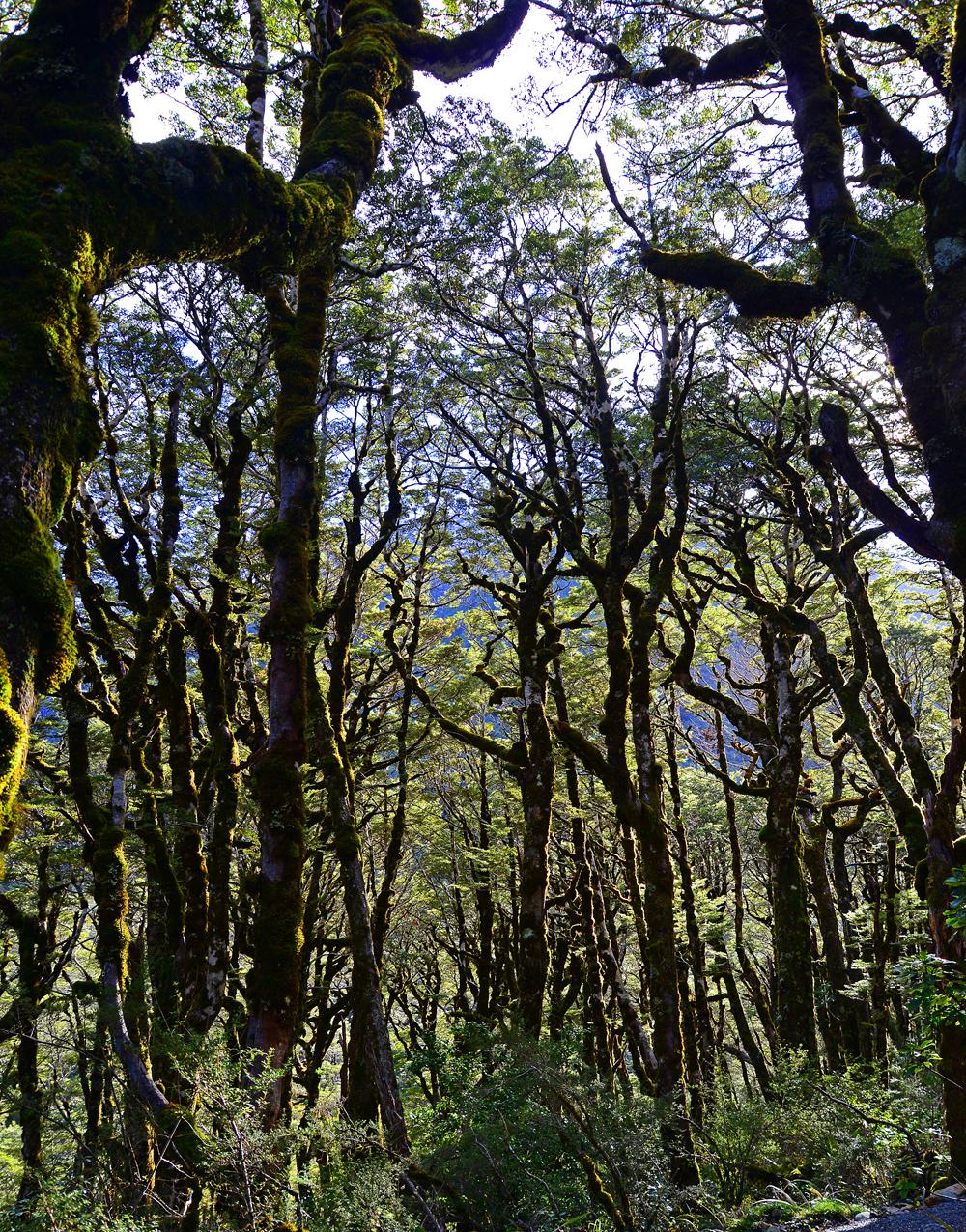 No.65  Arthur's Pass Beech Forest