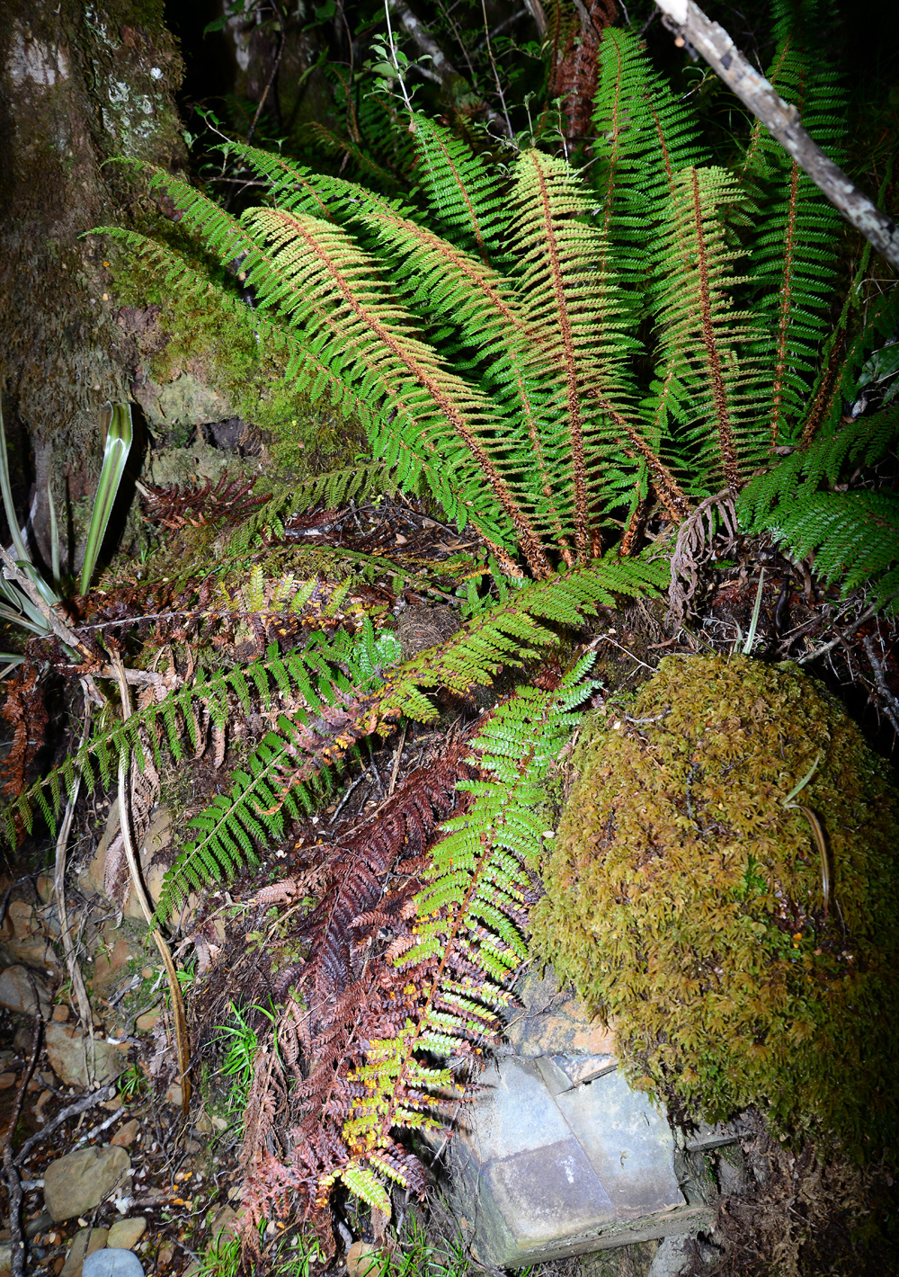 No.79  Wonderful Crown Fern