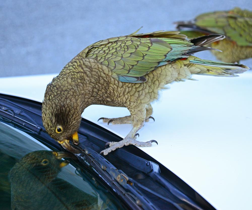 No. 83  Kea Parrot