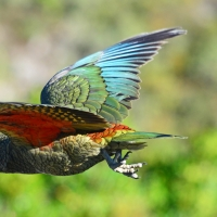 No.34 Kea in flight