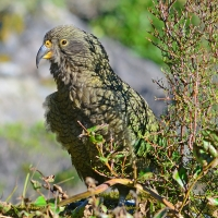 No.59 Kea perched.