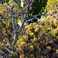 No.17 Flowering Mountain Cottonwood, sub Alpine Hebe