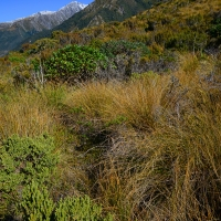 No.28 Coprosma, Hebe, and Tussock