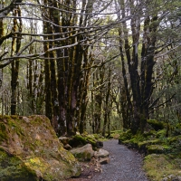 No.19 Beech Forest trees on the Bridal veil walk