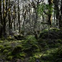 no.53 Beech Trees in the bidal veil walk of Arthur's Pass.