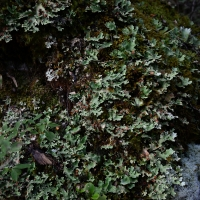 No.58 Giant looking Lichen