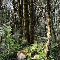 No.63 Tall Beech Trees