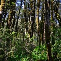 No.67 Beech Forest