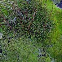No.84 Moss of sub alpine