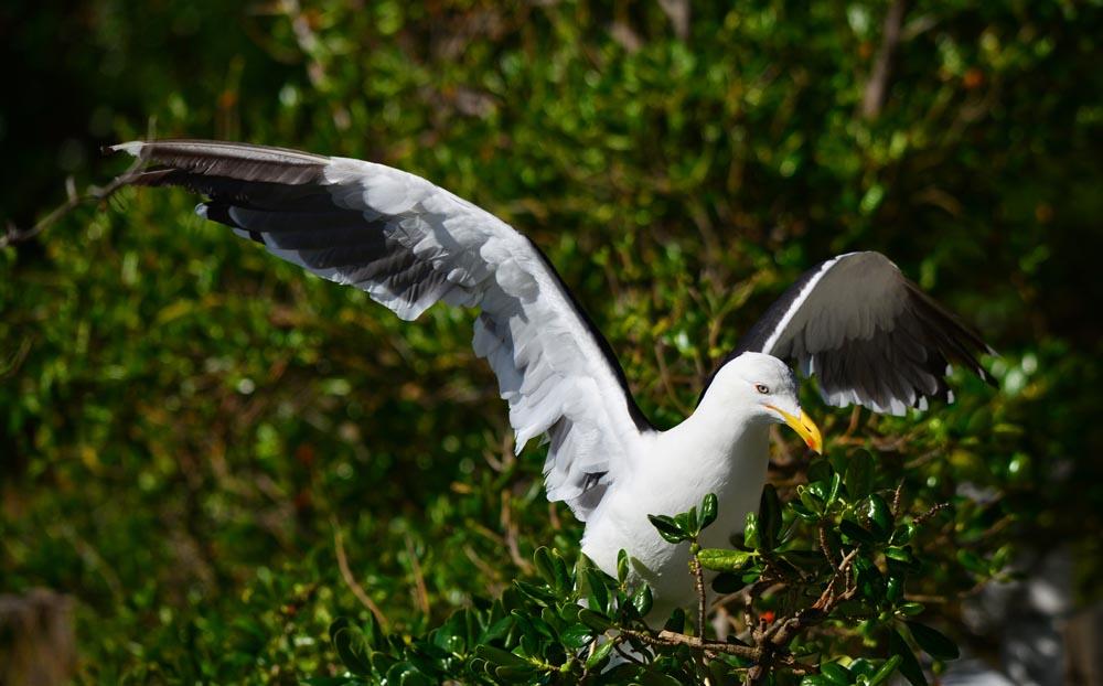 N0.7  New Zealand Black-Backed Gull