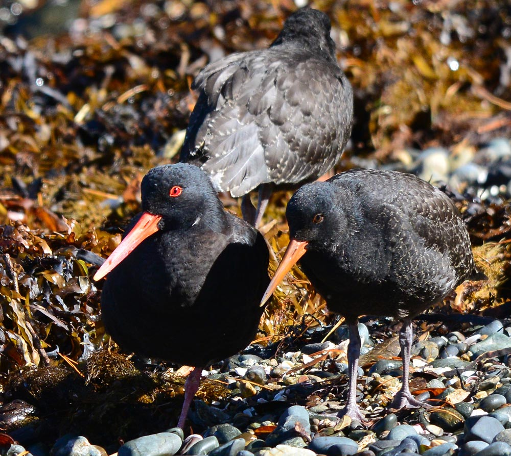N0.5  Oyster Catchers