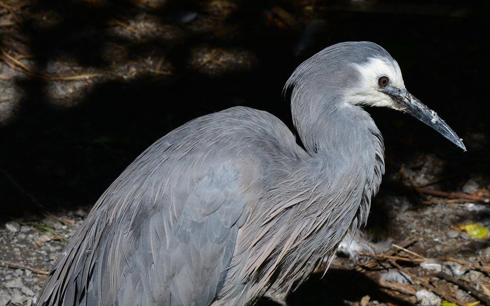 N0.12  White-faced Heron
