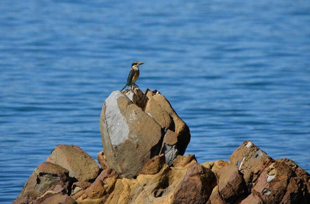 N0.10  Sacred Kingfisher