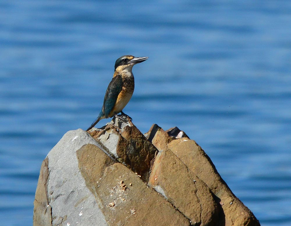 N0.13 Sacred Kingfisher