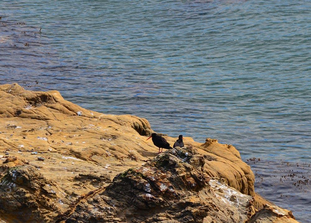 N0.11  Oyster Catchers on Matiu coastal rock