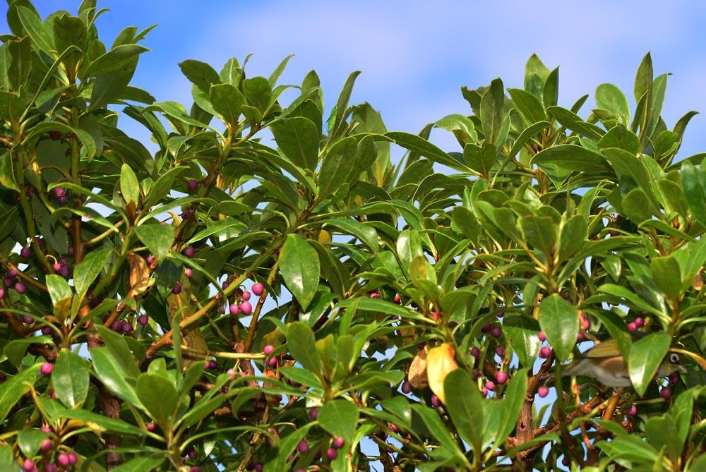 N0.20 Fruiting Tree