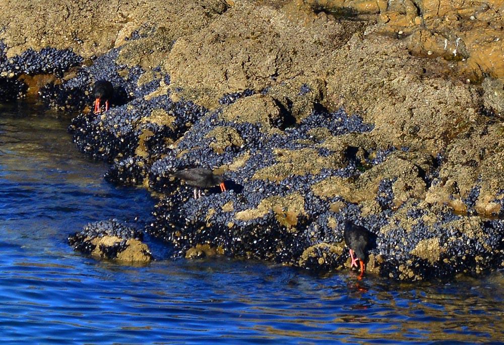 N0.6 Oyster Catchers feeding