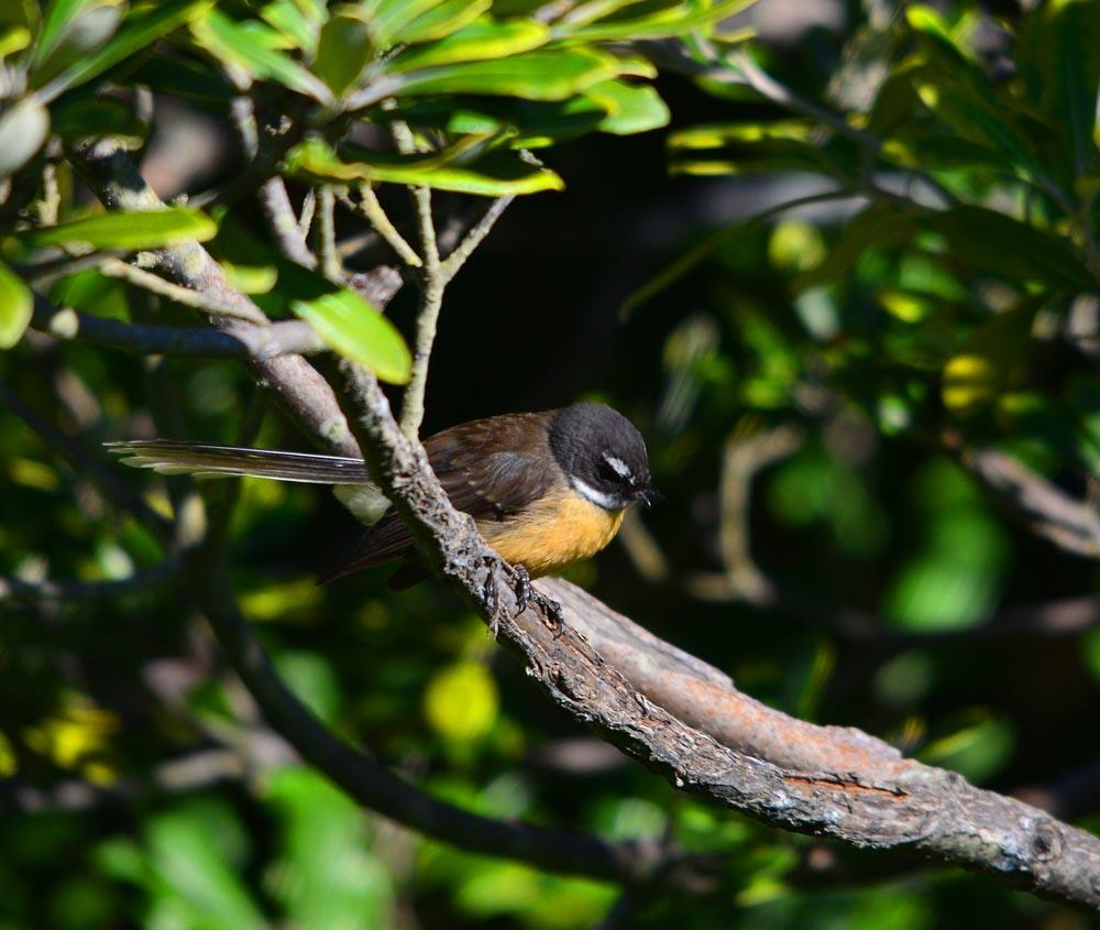 N0. 22 Perched Fantail,  Pīwakawaka