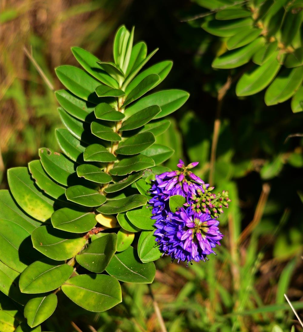 N0.23  Hebe Plant