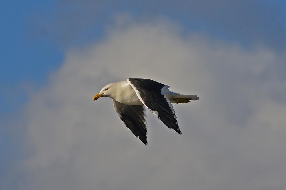 N0. 16 Black-backed Gull in flight.