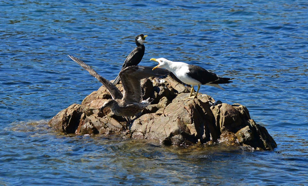 N0.9  Gulls and Cormorant