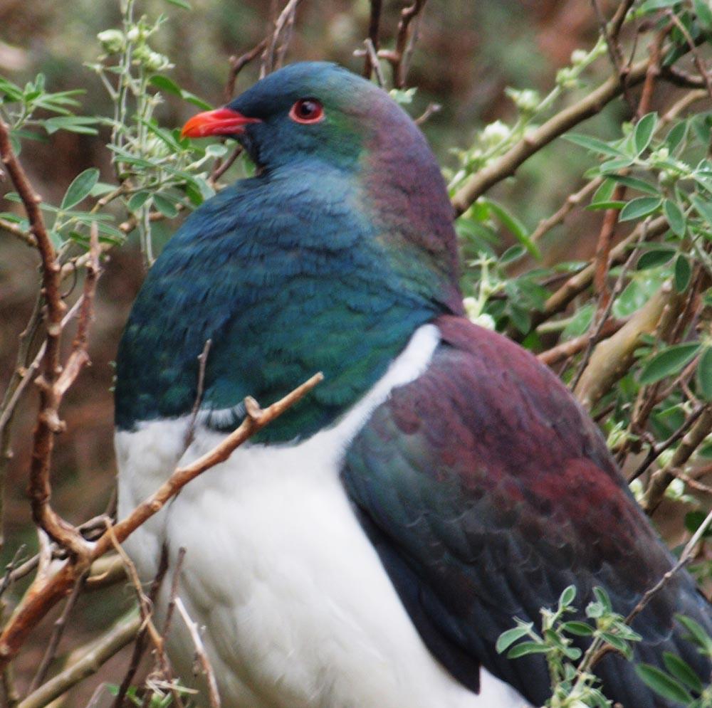 N0. 40  New Zealand Wood Pigeon - Kererū