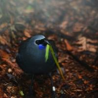 Kokako bird Nikon Imaging