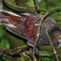 Kaka Parrot - Nikon Imaging
