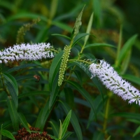 Hebe plant - Nikon Imaging