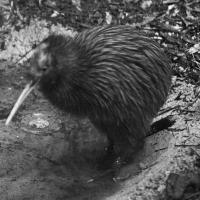 Brown Kiwi - Nikon Imaging