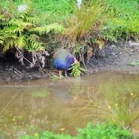 Takahe Bird - Nikon Imaging