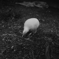 White Kiwi -Nikon Imaging