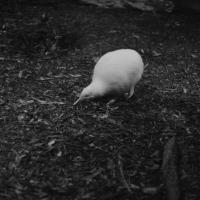 White Kiwi - Nikon Imaging