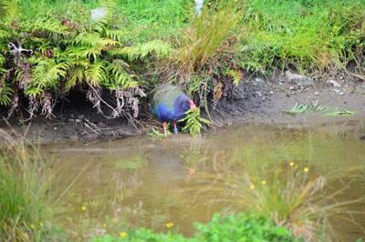 Takahe at stream, Pukaha