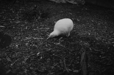 White Kiwi in Nocturnal enclosure, Pukaha Mt Bruce