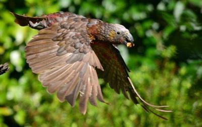 Kaka Parrot at Pukaha