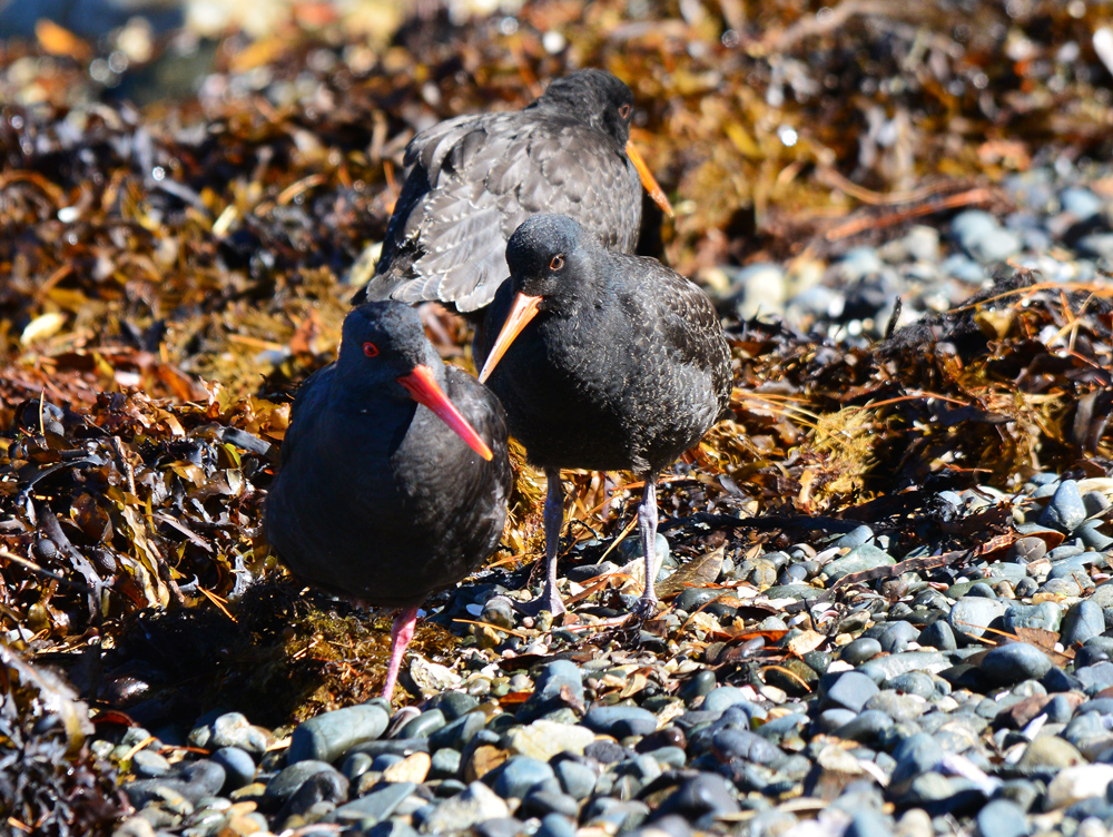 Pacific Oyster Catcher