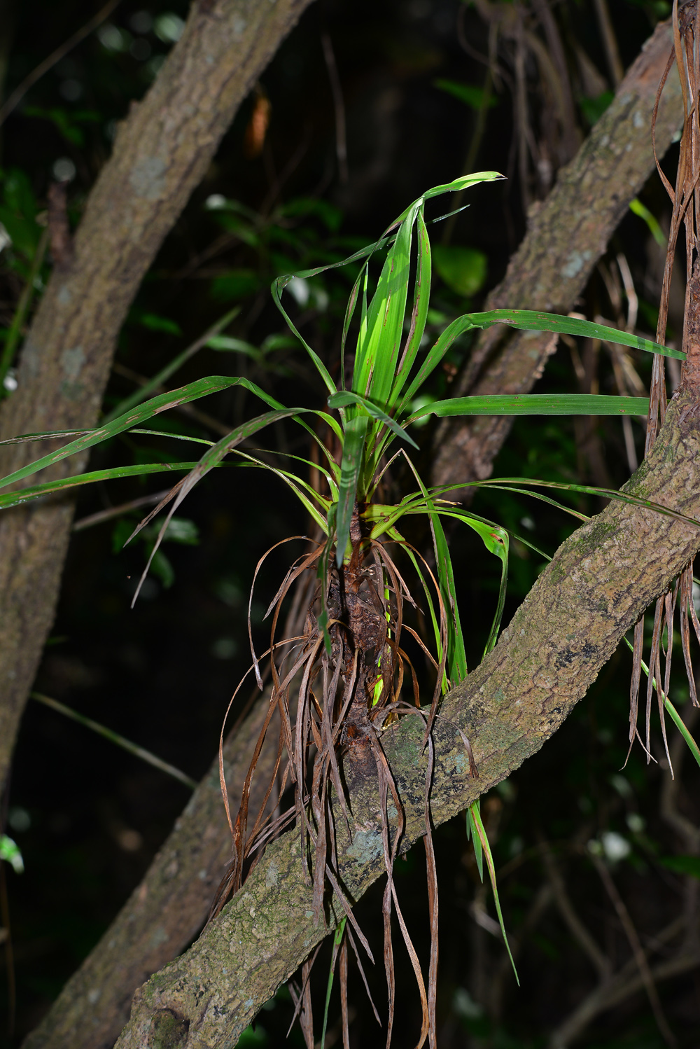 Cabbage tree leaves