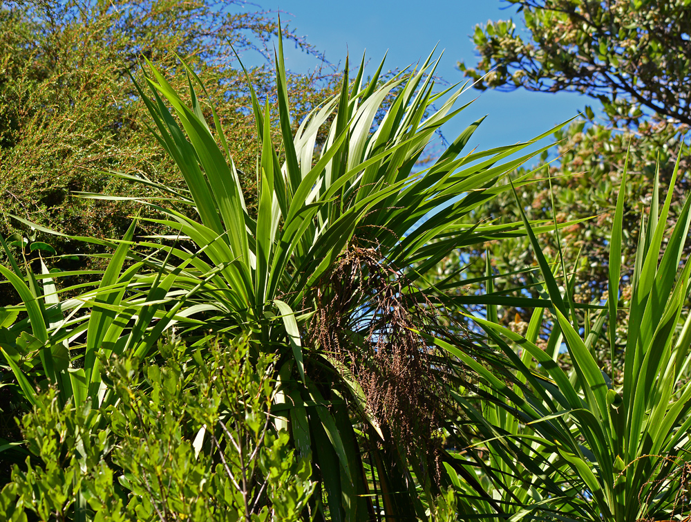 Cabbage Tree -ti kouka
