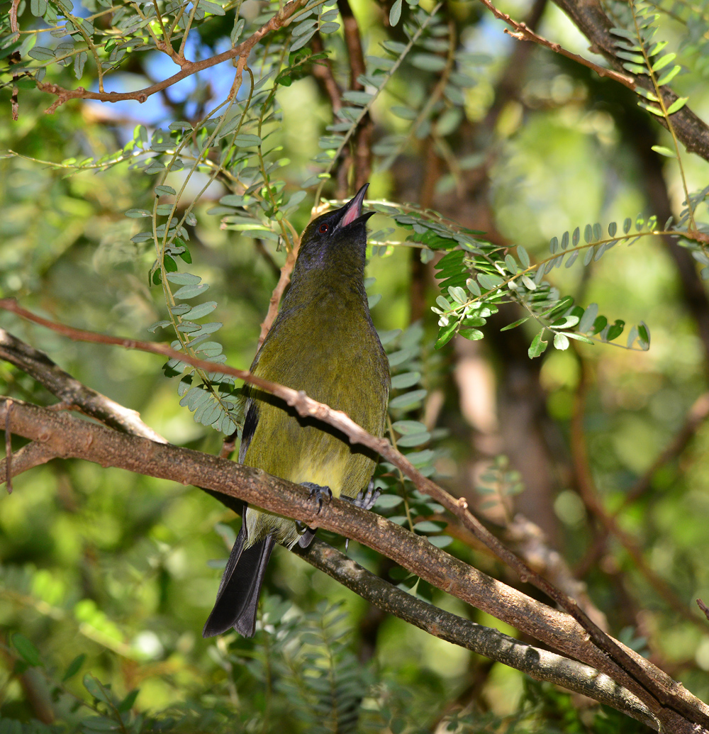 Bellbird in Kowhai tree