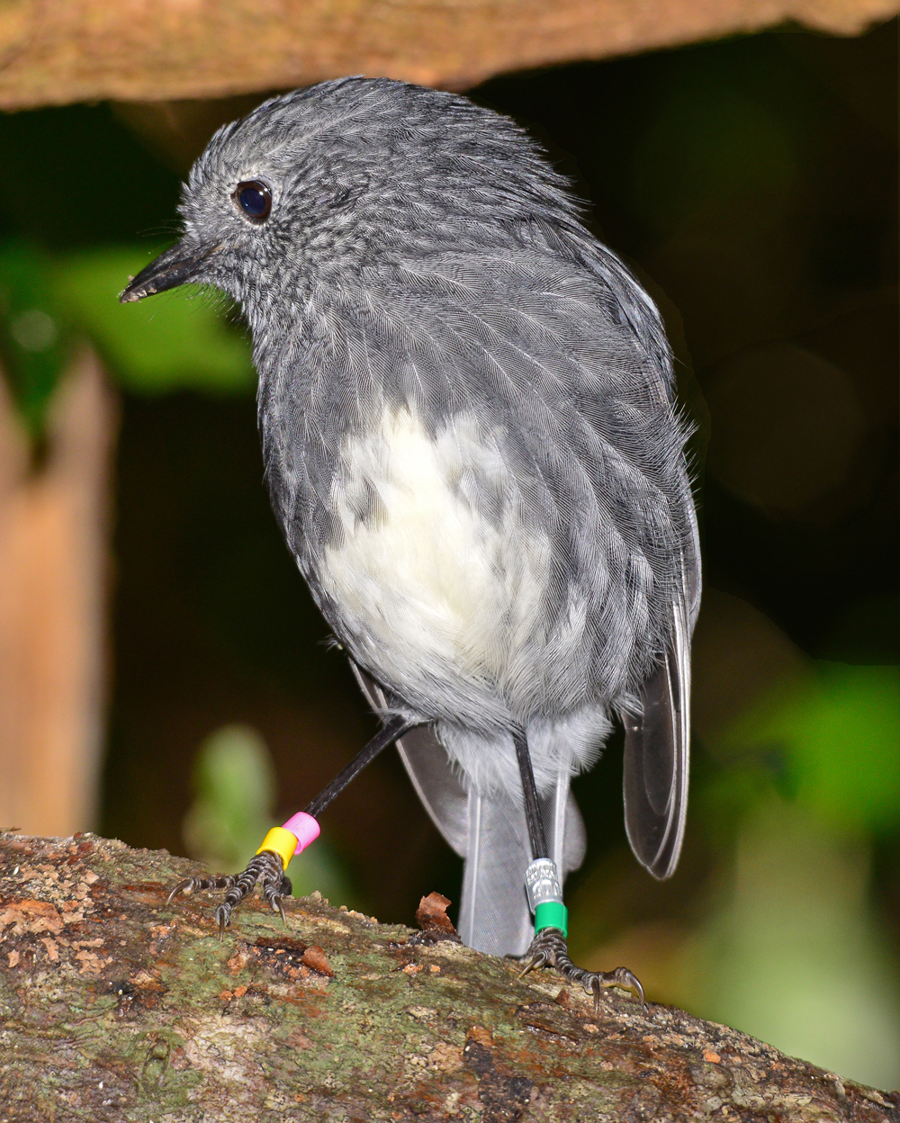 Totouwai - North Island Robin