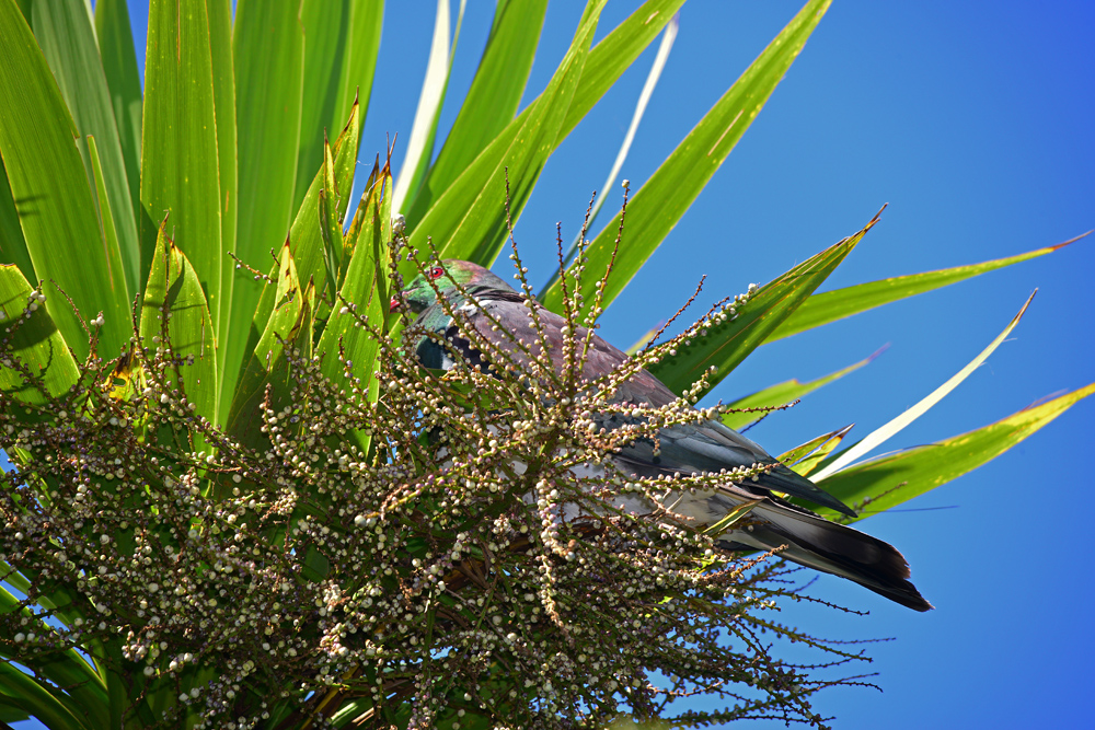 Cabbage tree and Kereru