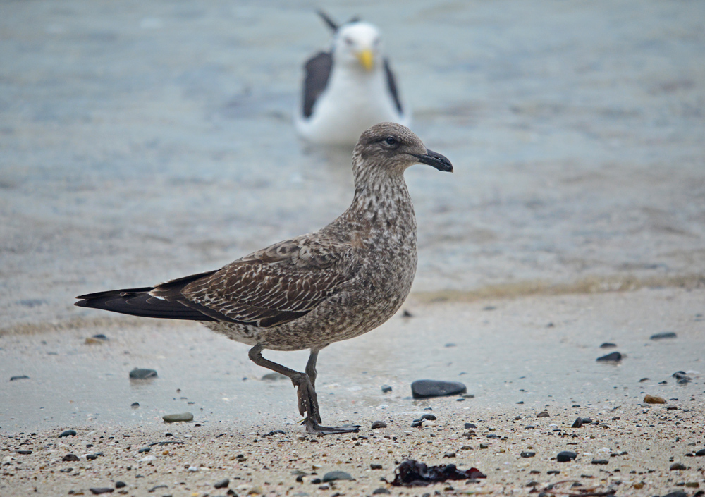 Immature Black Gull