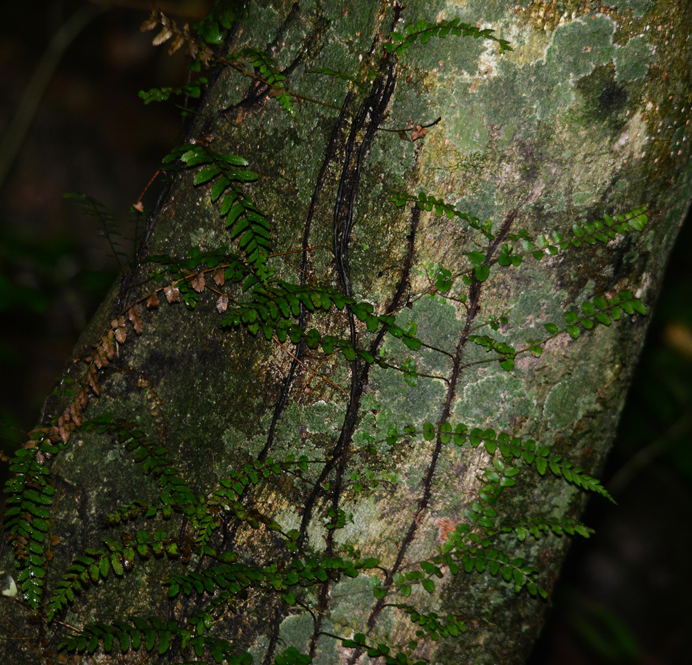 Fern vine and lichen