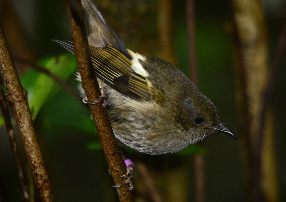 immature male Bellbird